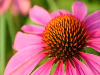 85465-pink_cone_flower-wallpaper